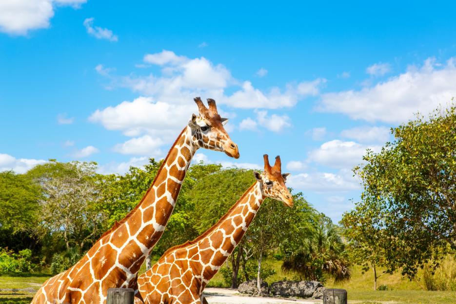 Kachny, kachny...kachny, ehm, pardon: žirafy...žirafy...žirafy.