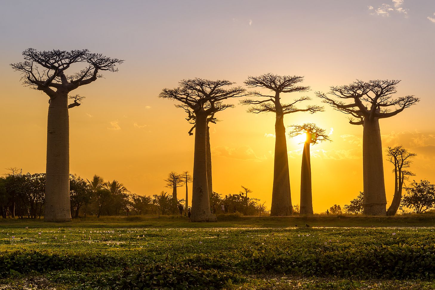 Baobaby si kmenech schovávají vodu na horší časy, proto jsou tak široké.