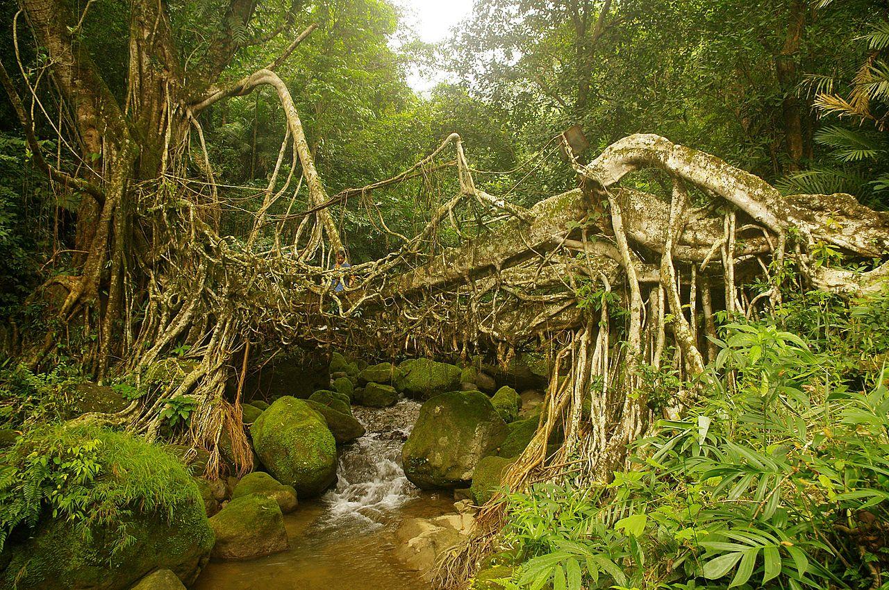 Živoucí kořenové mosty v Indii jsou turistickým lákadlem.